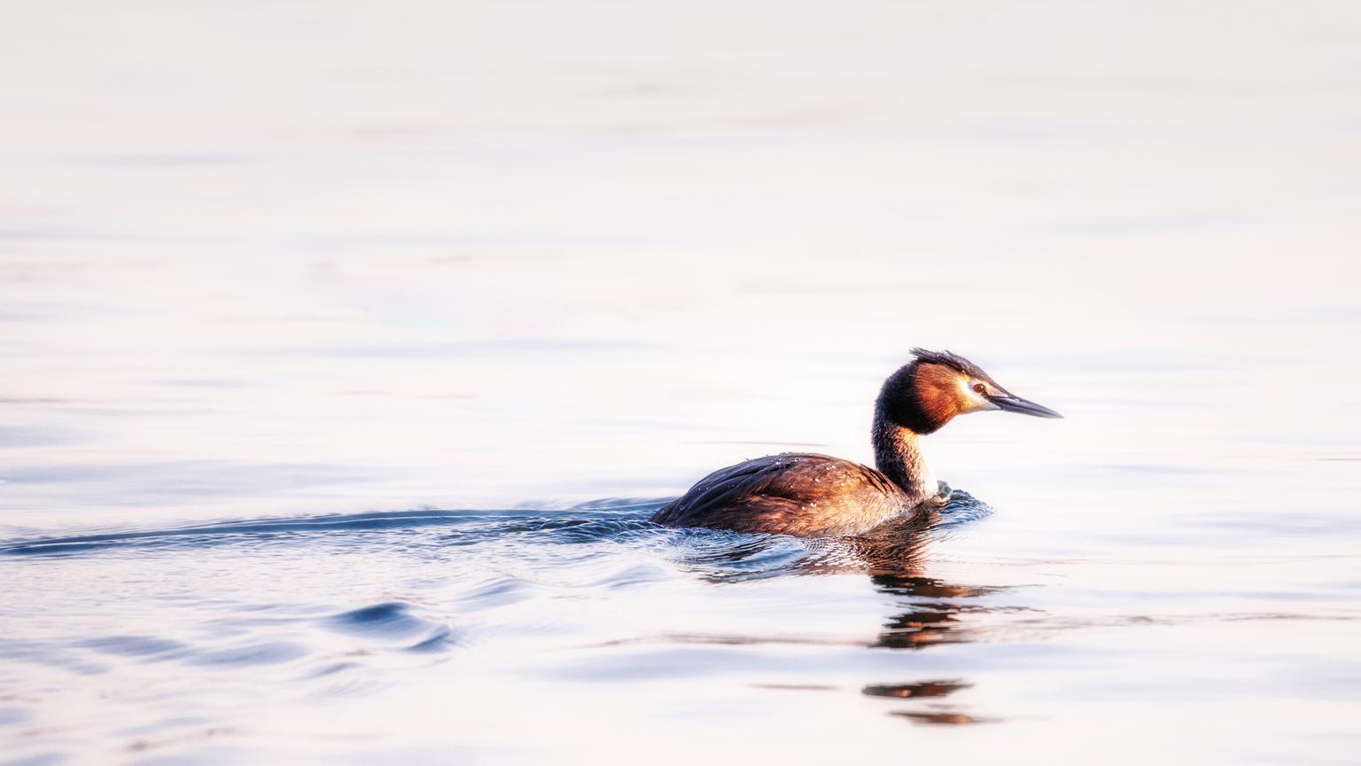 In de avond - De heerlijke fotogenieke fuut zwemt in de Merwede. De zon gaat bijna onder en die schijnt nog net op de fuut, zodat de toch al mooie kleuren nog bete - foto door marielledevalk op 16-04-2021 - locatie: Gorinchem, Nederland - deze foto bevat: fuut, water, vogel, zwemmen, lente, watervogel, water, vloeistof, vogel, vloeistof, bek, meer, watervogels, veer, eend, eenden, ganzen en zwanen