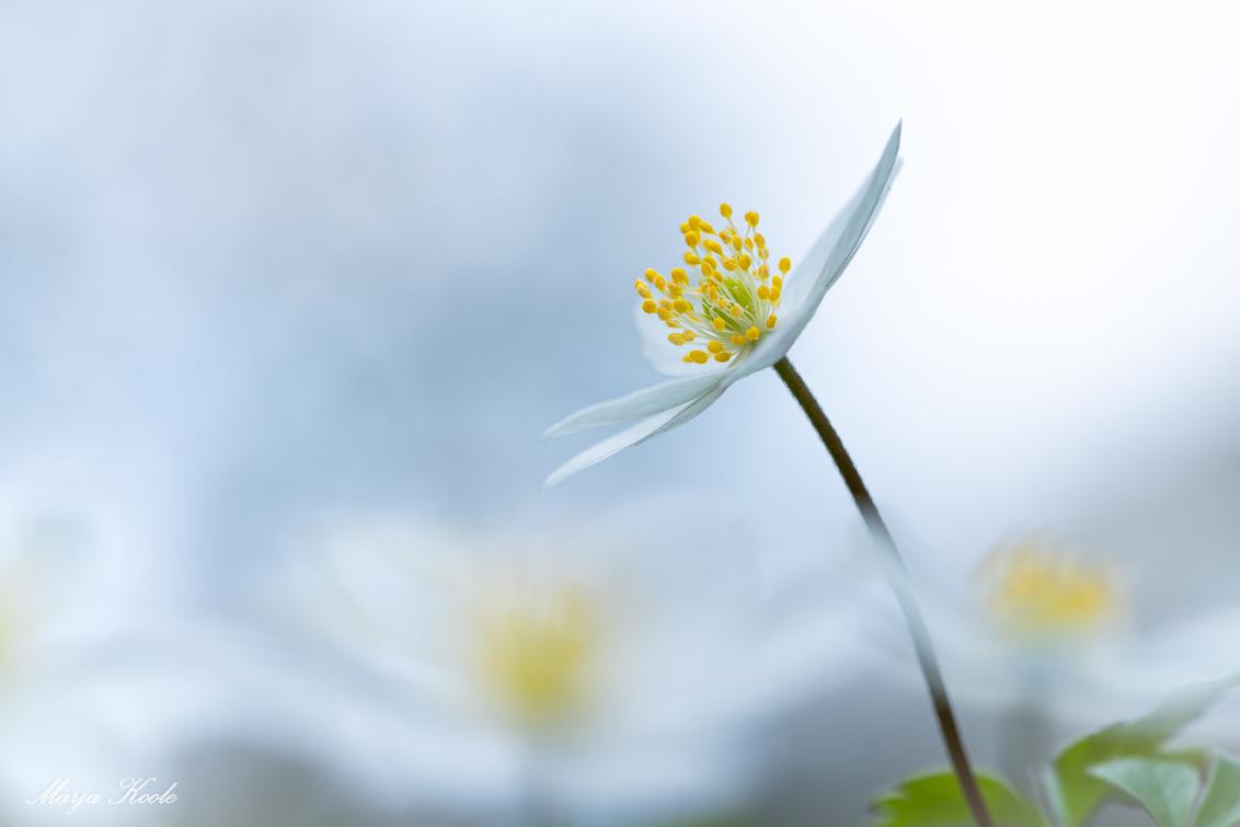 Ultiem voorjaars blommetje - Een heerlijk ochtendje met de macro lens gespeeld. Bosanemonen gevonden. Wat zijn ze toch mooi, teer en lastig te fotograferen. Lol. - foto door Marja8032 op 28-03-2021 - deze foto bevat: wit, licht, dof, bokeh
