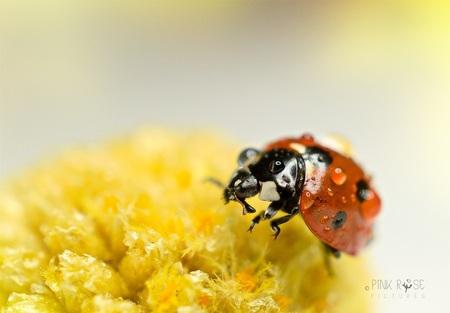 Een dag als vandaag... - Een dag als vandaag... Zon & regen  Dank voor de comments op mijn vorige foto. - foto door PinkRosePictures op 17-03-2021 - deze foto bevat: macro, lente, natuur, lieveheersbeestje, druppel, geel, licht, insect, dof