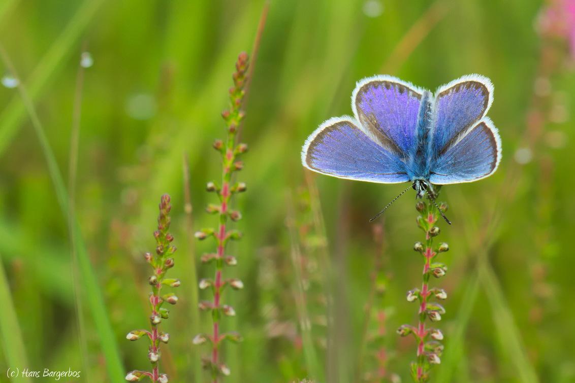 Blue is beautiful - Nog eentje van twee weken terug op de Delleboersterheide. Het prachtige blauw van het mannetje van een heideblauwtje steekt hier mooi af tegen het gr - foto door HansBargerbos op 27-07-2016 - deze foto bevat: groen, macro, vlinder, blauwtje, heide, heideblauwtje, delleboersterheide, Bargerbos