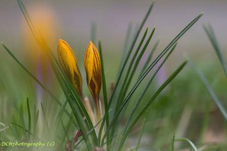 Met zijn tweetjes - Vandaag toch de regen getrotseerd om mijn eerste krokusjes op de gevoelige plaat te zetten. Vond dit groepje die door hun mooie tekening opviel.  I - foto door Dodsi op 26-02-2017 - deze foto bevat: groen, macro, bloem, lente, natuur, geel, winter, krokus, voorjaar, bokeh, voorbode