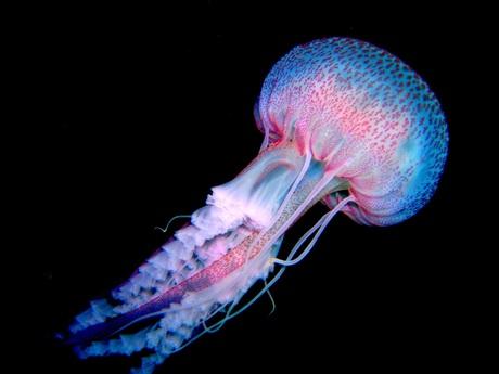 Jellyfish, San Miguel Azoren