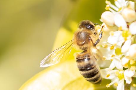 Bij op zoek naar nectar