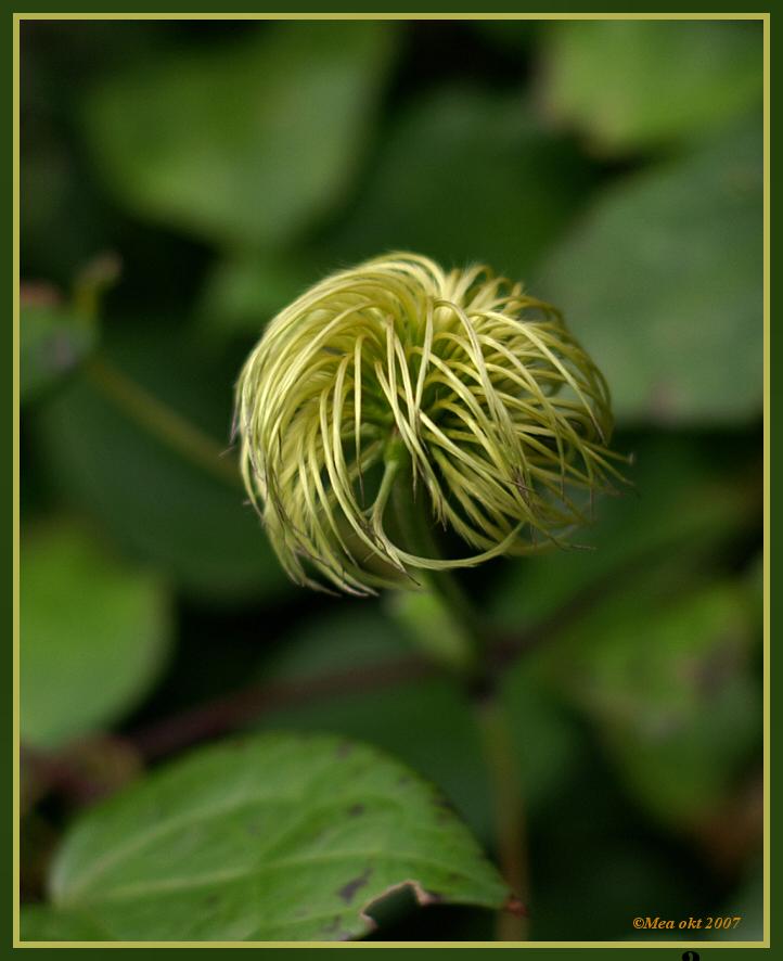 Haardos - De Clematis laat zich n iet kaal scheren als ze uitgebloeid is. Een mooie haardos, gekapt en wel is het eind van de bloei...  Make : KONICA MINOLT - foto door angenent op 03-10-2007 - deze foto bevat: groen, bloem, clematis, haardos