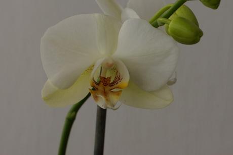 Philanopsis 1