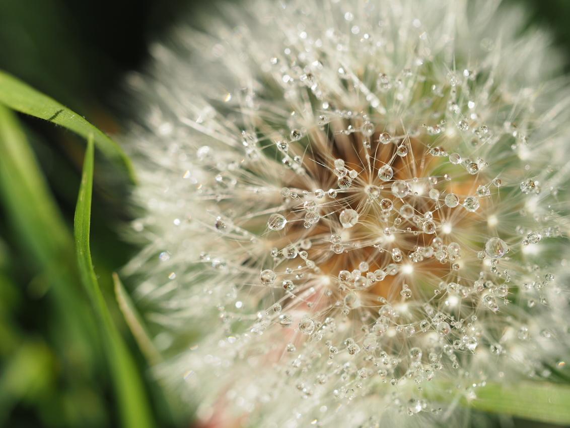Dandelion - Een cadeautje eind november; deze pluizenbol met dauwdruppels! - foto door Cindy-Arts op 10-12-2016 - deze foto bevat: macro, wit, bloem, natuur, druppel, licht, dauw, dof