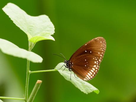 Euploea sp.