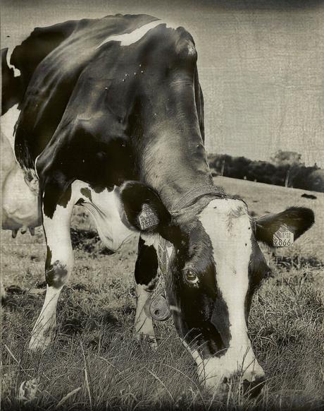 klaartje koe met een fikse bewerking :)