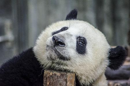 Panda - Ik ben zo moe !! - foto door jddtez op 16-04-2021 - locatie: Chengdu, Sichuan, China - deze foto bevat: oog, panda, carnivoor, terrestrische dieren, snuit, ijsbeer, dieren in het wild, vacht, beer, fabriek