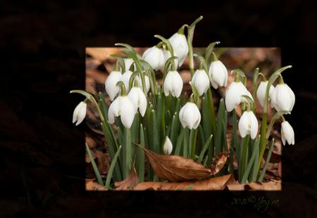 sneeuwklokjes - In het arboretum van Kalmthout is het altijd heerlijk toeven. Naast sneeuwklokjes vind je er in dit jaargetijde kleine cyclamen, veel soorten hellebo - foto door Lathyrus op 20-03-2010 - deze foto bevat: bewerkt, sneeuwklokjes
