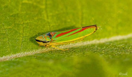 Red-Green-Banded Leafhopper aan het plassen ♂