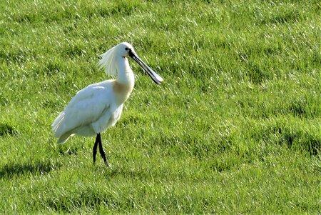 P1140452  Ho Jos , ik ben nu effe aan de wandel  9 april 2021 - Hallo Zoomers , GROOT kijken . Afgelopen week liet ik al een foto zien van deze rakker die toen dichterbij stond , Op de terugweg  van een fietsrondj - foto door jmdries op 15-04-2021 - locatie: Kwintsheul  nabij viaduct Lange Watering  - deze foto bevat: dieren lepelaar, vogel, bek, fabriek, veer, gras, natuurlijk landschap, grasland, pelecaniformes, ciconiiformes, vleugel