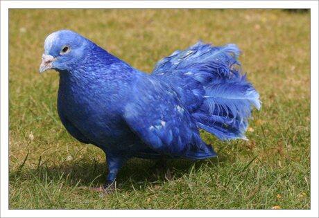 Blauwe duif