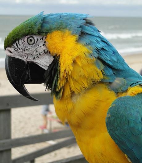 Blauw-Gele Ara Rico kijkt belangstellend naar de strand-gangers, 27-8-2018.