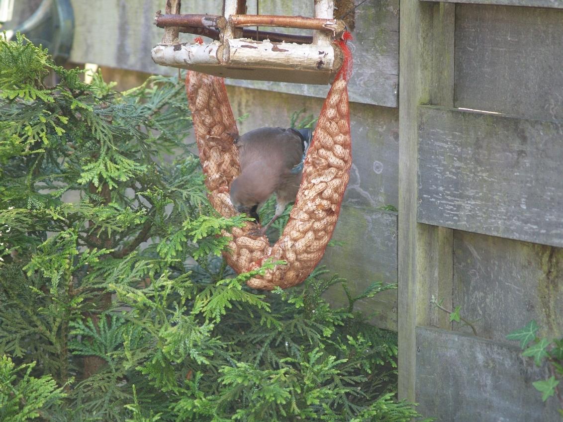 Etende Vlaamse Gaai - Nadat de Vlaamse Gaai gezien had dat het veilig is, worden de pinda's geopend om de inhoud op te peuzelen. - foto door janbruijns op 04-05-2012 - deze foto bevat: tuin, Vlaamse Gaai