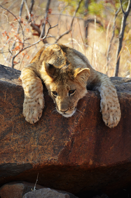 Trust the lion cub