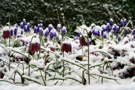Voorjaarsbloemen in de sneeuw - Kievietsbloemen tijdens de 2e winter - foto door Frenk2021 op 11-04-2021 - locatie: Veldhoven, Nederland - deze foto bevat: fabriek, bloem, purper, natuur, sneeuw, plantkunde, bloemblaadje, lente krokus, sneeuwkrokus, vegetatie