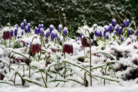 Voorjaarsbloemen in de sneeuw