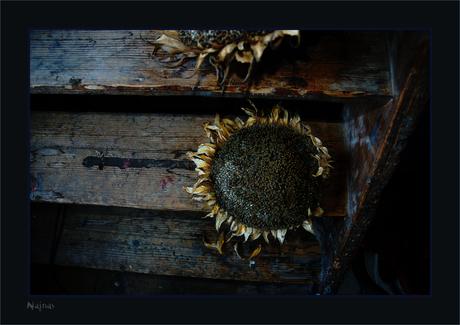 zonnebloemenDead