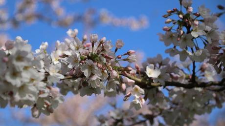 Kersenbloesempark Amsterdamse Bos, Amstelveen