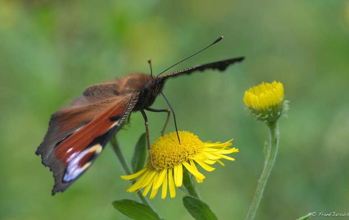 Dagpauwoog posing - - - foto door frankjacobs op 30-08-2017 - deze foto bevat: groen, macro, wit, zon, bloem, natuur, vlinder, dagpauwoog, druppel, geel, licht, oranje, tegenlicht, zomer, insect, nikon, dauw, dof, bokeh, frank jacobs, nikon d500