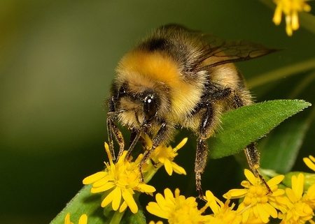 HOMMEL - Je komt wat tegen in eigen tuin.... - foto door reest op 31-07-2016 - deze foto bevat: hommel, geel, insect