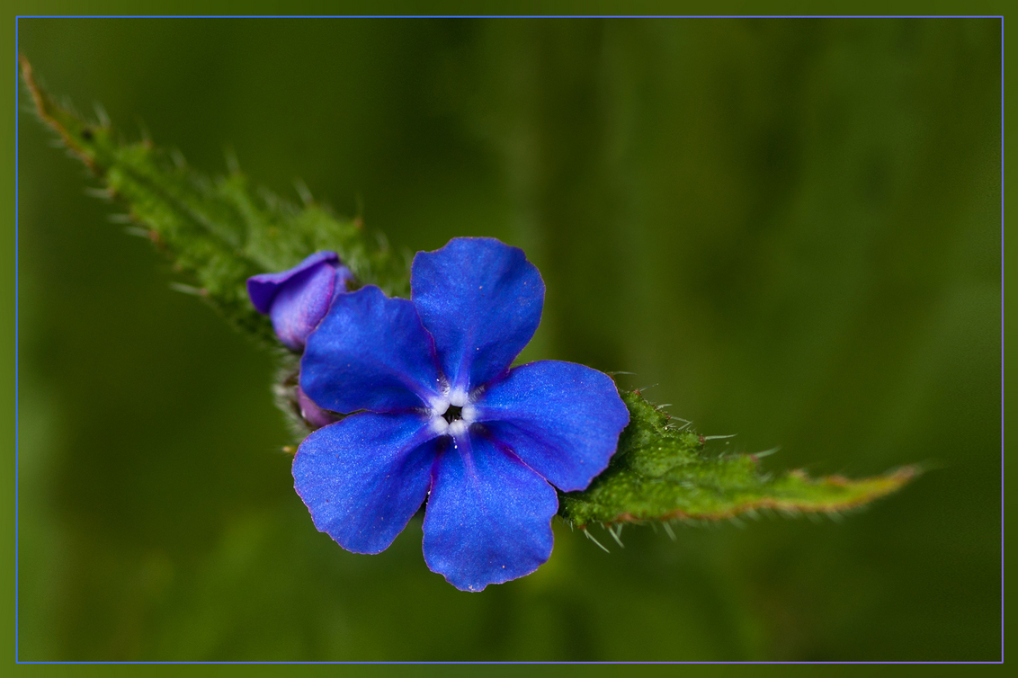 Bloemetje - Uit de oogst van mijn bezoek aan het arboretum en plantentuin in Kalmthout, vorige zondag. - foto door kosmopol op 01-05-2012 - deze foto bevat: bloem, arboretum, plantentuin, kosmopol