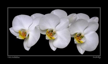 Trio Orchidea