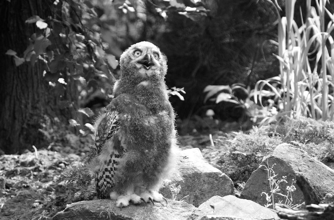 Jonge sneeuwuil - Een gelukje, de jonge uilen waren op ooghoogte en actief. - foto door ra.weggemans op 25-09-2020 - deze foto bevat: uil, jong, emmen, sneeuwuil, wildlands