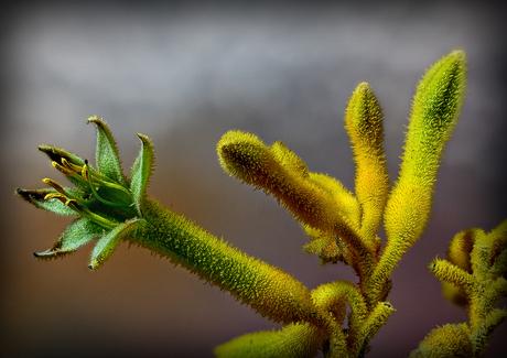 Kangeroepoot - Anigozanthos flavidus_0986