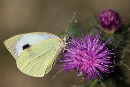 Actie - Het is heel bijzonder om een vlinder van dichtbij vast te leggen terwijl hij met zijn roltong in de weer is. - foto door anitagrotewal op 17-04-2021 - deze foto bevat: vlinder, bloem, bestuiver, insect, fabriek, geleedpotigen, vlinder, schadelijke wiet, tuin wit, motten en vlinders, groot wit