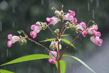 Reuzenbalzamien in de regen