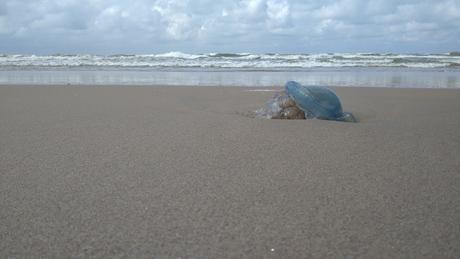 Zeepaddenstoel of bloemkoolkwal