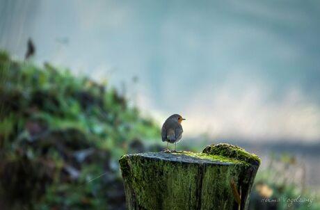 Robin/ Roodborstje