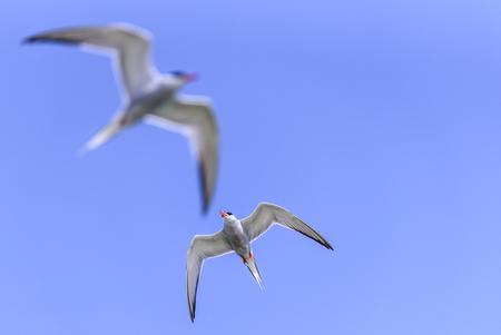 visdiefjes - Visdiefjes op de Markerwadden. - foto door pvanwieringen op 25-02-2021 - deze foto bevat: natuur, dieren, vogel, watervogel, visdiefje, markerwadden