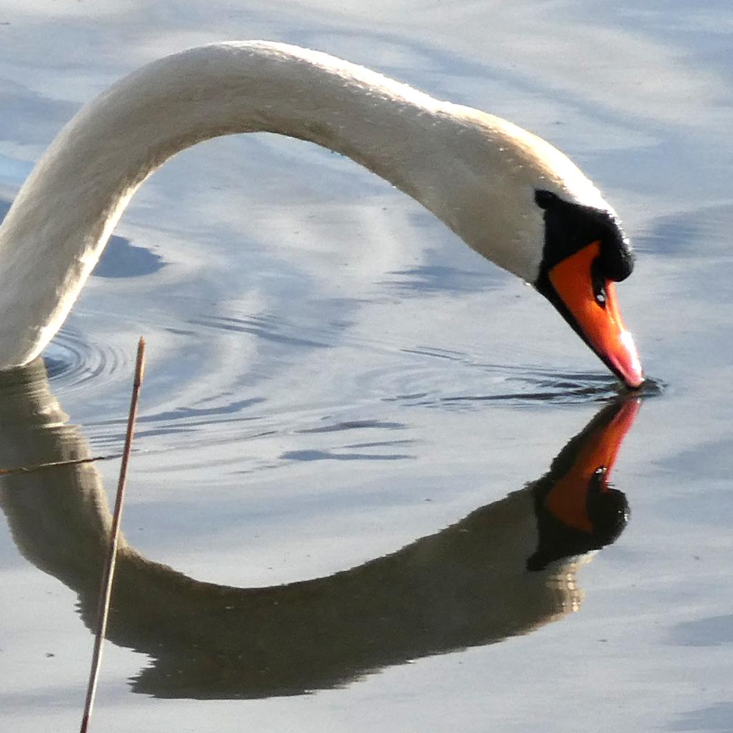 De kus van de zwaan - De zwanen beginnen te nestelen bij de sfinxwoningen langs het Gooimeer. Deze kijkt in de spiegel of hij er mee door kan. - foto door Krea10 op 13-04-2021 - locatie: Huizen, Nederland - deze foto bevat: water, vloeistof, gewervelde, natuurlijke omgeving, vloeistof, vogel, bek, natuurlijk landschap, watervogels, meer