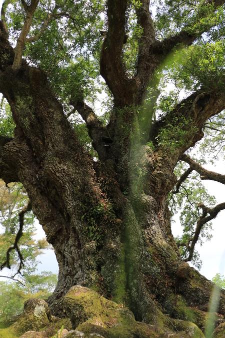 Oak - Oak at the Oak Alley Plantation (Vacherie, US). - foto door VosL op 16-07-2017