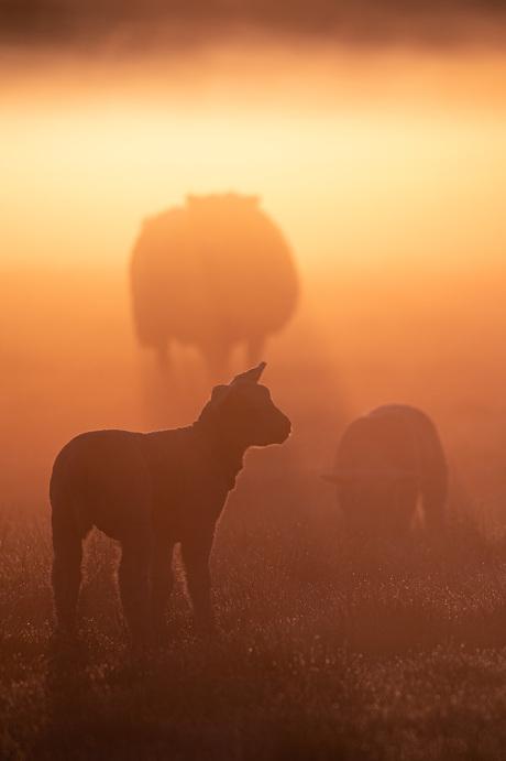 Lammetjes in het gouden ochtendlicht