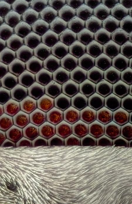 Details Oog Huisvlieg 60x vergroting - Dit is een opname van het oog van een huisvlieg op 60x vergroting. Je kunt de facetogen duidelijk zijn net als sommige cameras heeft deze vlieg een  - foto door marcojongsma op 22-09-2020 - deze foto bevat: rood, macro, wit, natuur, vlieg, licht, facetogen, tegenlicht, zomer, insect, ogen, micro, dof, bokeh, huisvlieg, focusstacking, focus stacking, extreme macro, extrememacro