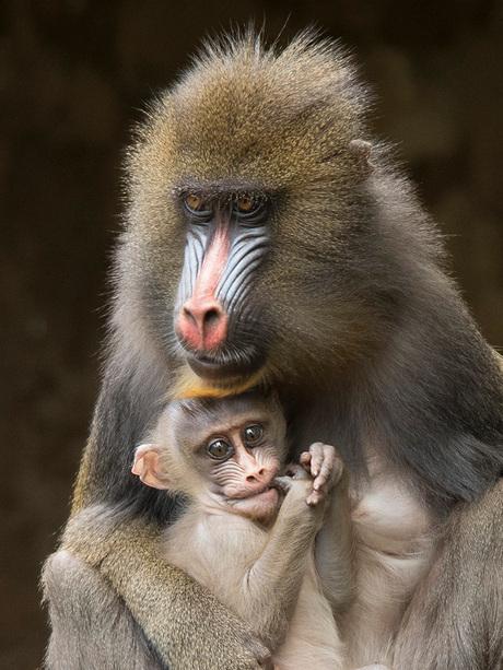 Babymandril