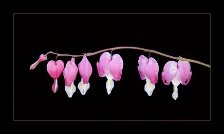 Gebroken hartjes bloem