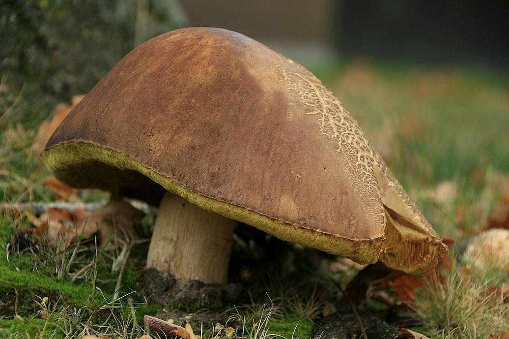 Eekhoorntjesbrood - Ook in Koekange waar de Vliegenzwammen ook staan.  Allen bedank voor de reactie,s op de twee foto,s die geplaatst zijn.  gr jenny..... - foto door jenny42 op 15-11-2016 - deze foto bevat: groen, natuur, bruin, paddestoel, herfst, blad, eekhoorntjesbrood, nederland, hoed, creme, koekange, steel, jenn42.