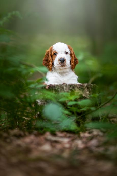 Welsh Springer pup