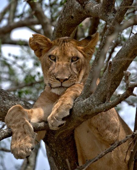 Leeuw in Serengeti National Park Tanzania - - - foto door wd1956 op 01-07-2019 - deze foto bevat: leeuw, tanzania, serengeti