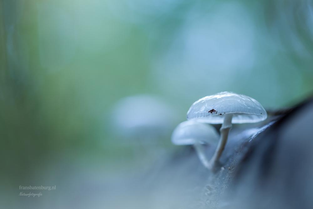 Zo breekbaar - Gemaakt tijdens de zoomdag in de bossen van Dorst . Porseleinzwammen op wat beuken takken .. - foto door celtre op 20-10-2019 - deze foto bevat: macro, natuur, paddestoel, herfst, tegenlicht, dorst, dof, bokeh, celtre