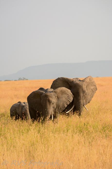 Olifanten Familie op de Serangetti vlakte