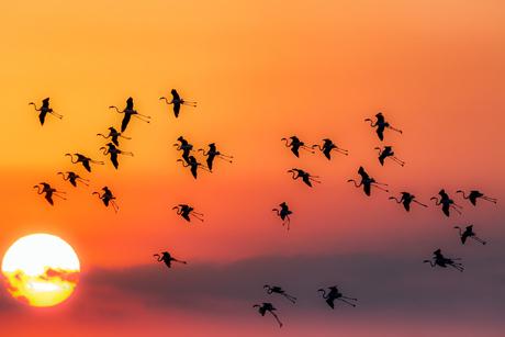 Flamingo's bij zonsondergang
