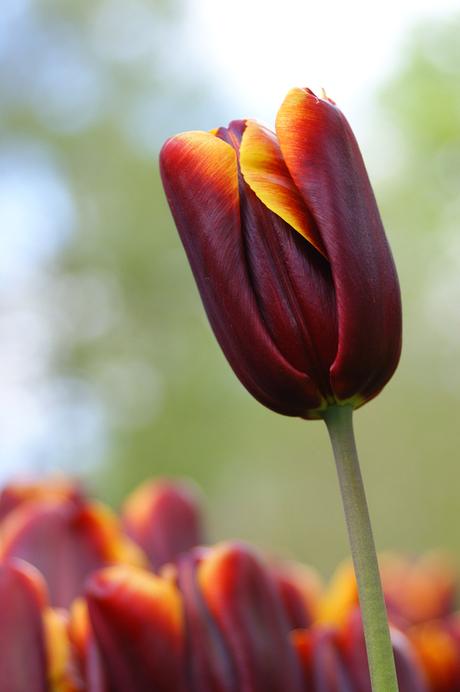 Darkred Tulip