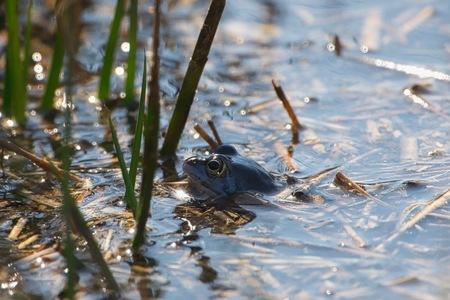 Blauwe heikikker - Je treft de heikikker aan in natte bos- en natuurterreinen op zand- en veengrond. De heikikker is normaal bruin met vlekken op de rug, je hebt ook on - foto door JerPet op 31-03-2021 - deze foto bevat: blauw, kikker, water, lente, natuur, meer, nederland, heikikker