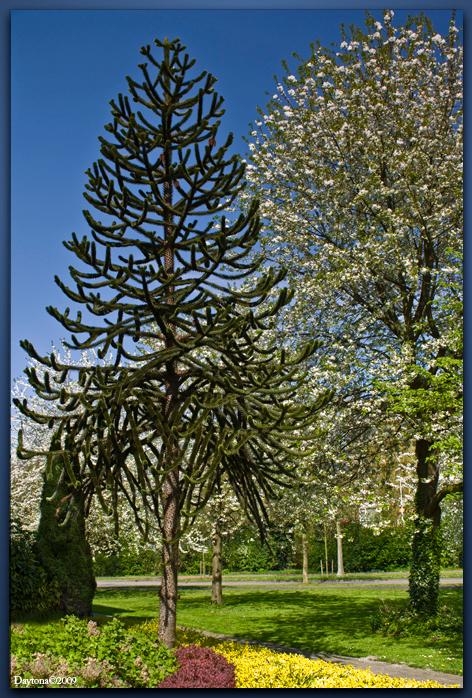SlangenDen - SlangenDen of Araucaria araucana en wordt ook wel apeboom genoemd. - foto door Daytona_zoom op 19-04-2009 - deze foto bevat: boom, bladeren, bloem, blad, bloemen, bomen, takken, den, bloesem, tak, stam, takjes, blaadjes, dennenboom, stammen, daytona, slangenden, araucaria-araucana